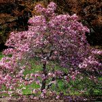 How To Prune A Magnolia Tree