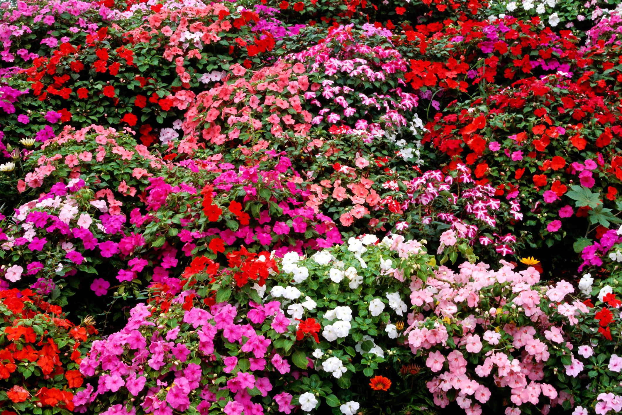 Impatiens Bring Bright Colors To Shady Areas