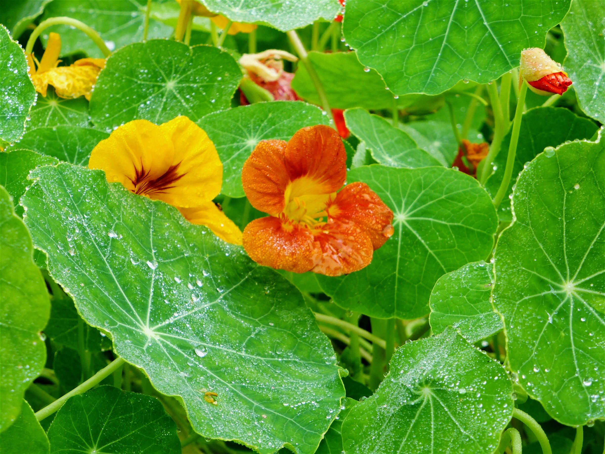 Nasturtiums Cool Season Annual Flowers