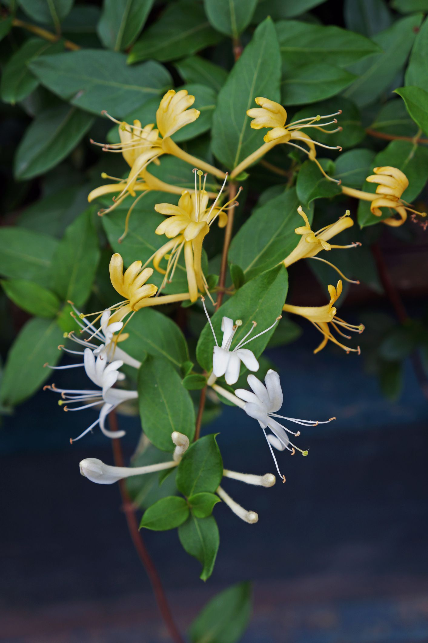 Japanese Honeysuckle Plant Care And Growing Guide
