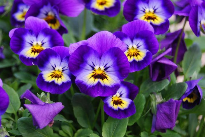 How to Grow Violas in a Home Garden