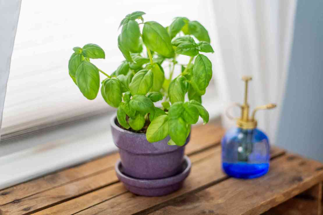 How to Grow and Care for Basil