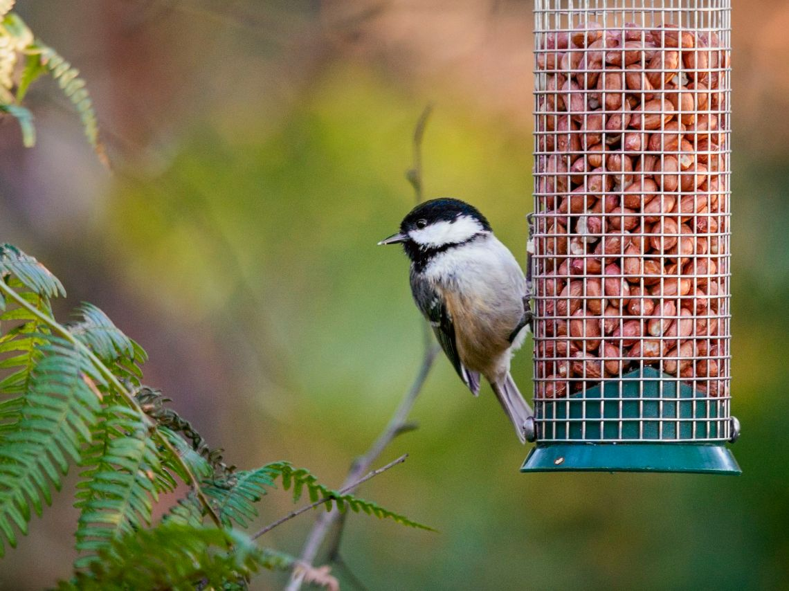Peanuts For Wild Birds A Favorite Food