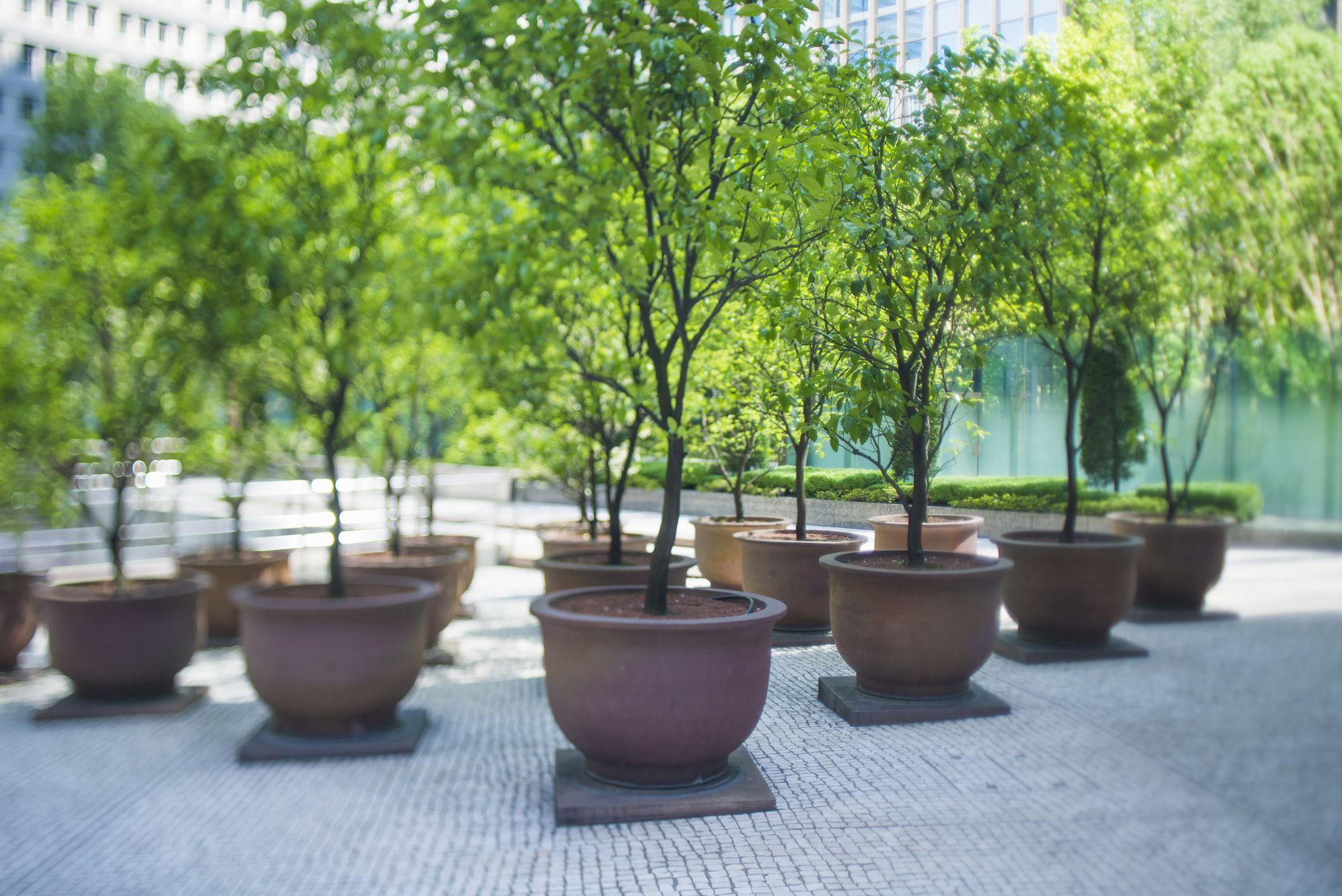 Mature Bamboo Plants