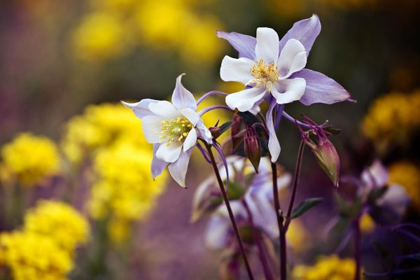 columbine flowers facts and growing tips the spruce - HD1280×854