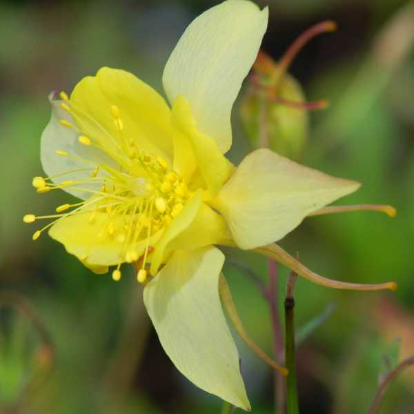 columbine flowers facts and growing tips the spruce - 736×849