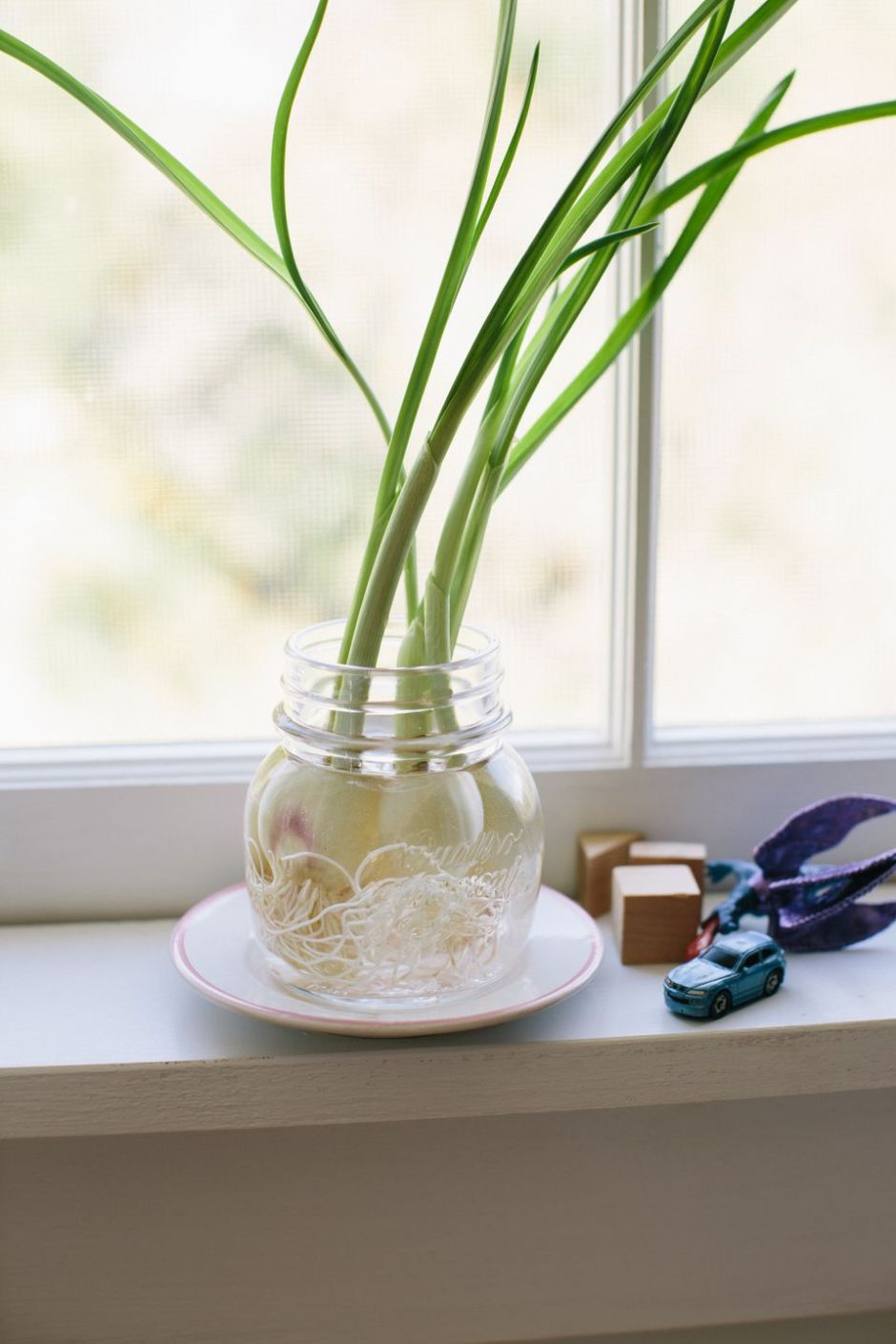 Garlic plant grown indoors in jar