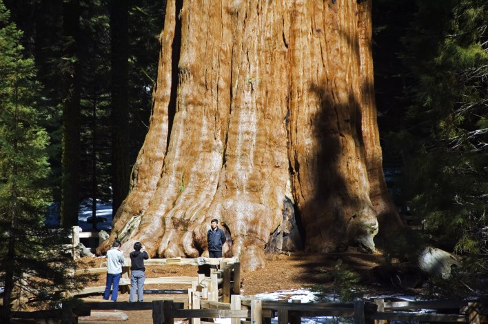 Tourists gathered by the General Sherman Sequoia Tree