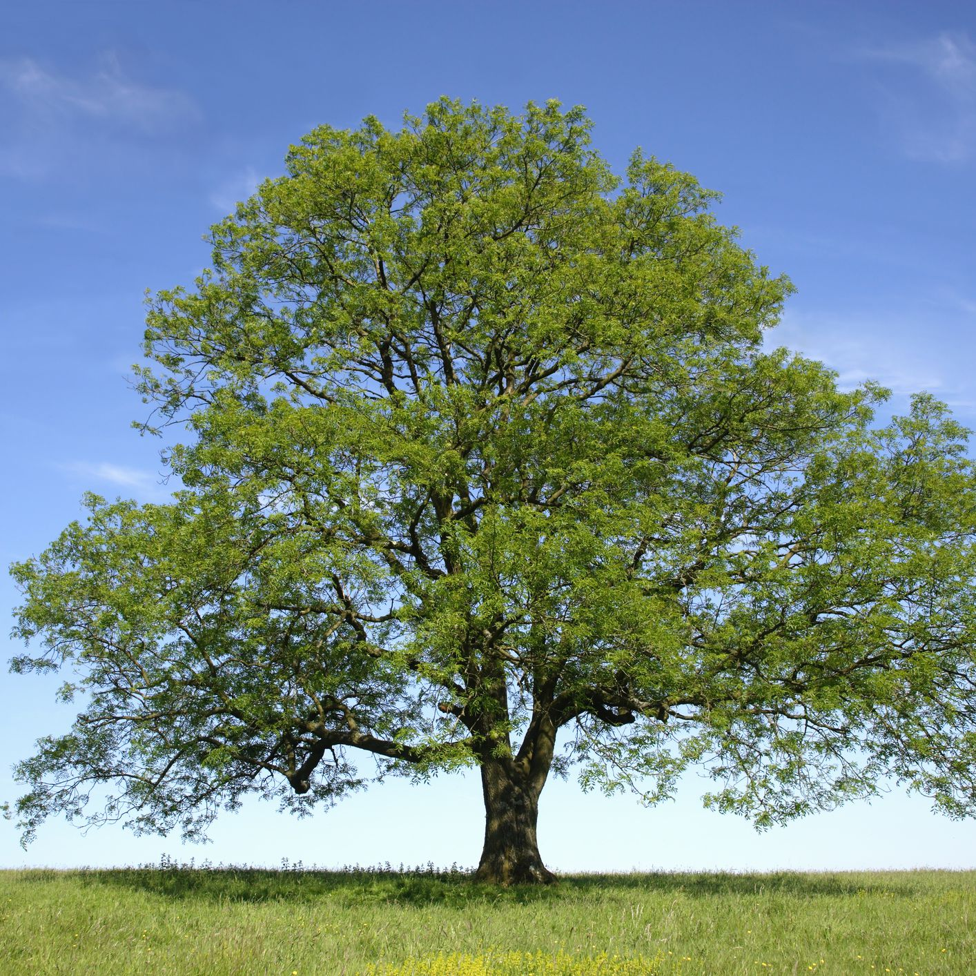 13 Species Of Ash Trees