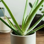 How To Grow And Care For Aloe Vera