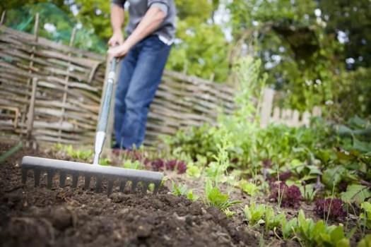 Gardener Preparing Raised Beds with Rake in Vegetable Garden