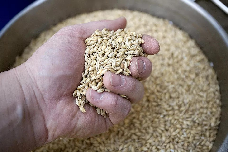 A handful of malted barley used in beer making