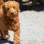 12 Facts About The Goldendoodle
