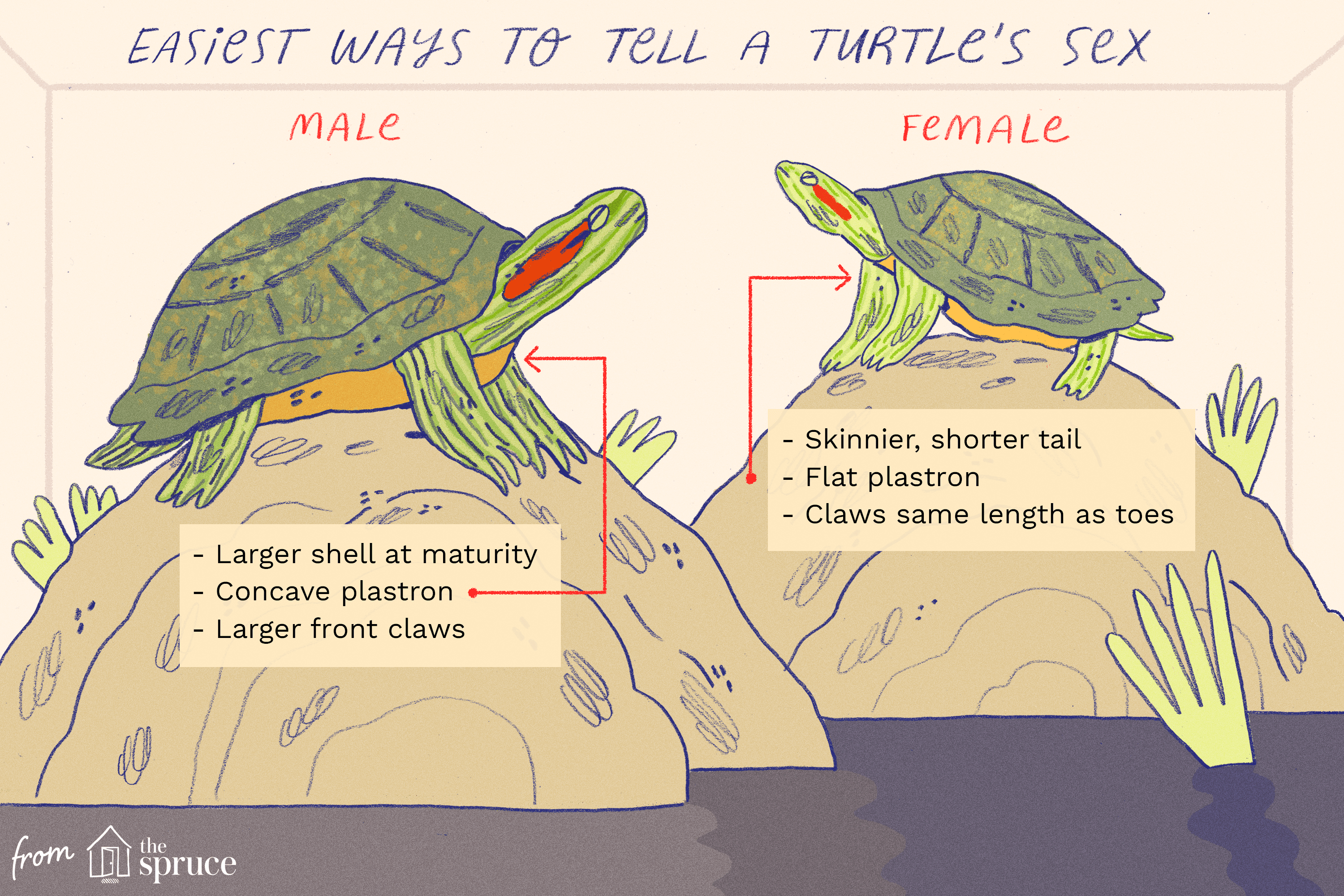 Gestation Period Of Red Eared Turtle