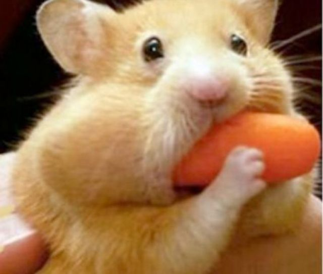 Hamster Pocketing A Carrot For Later