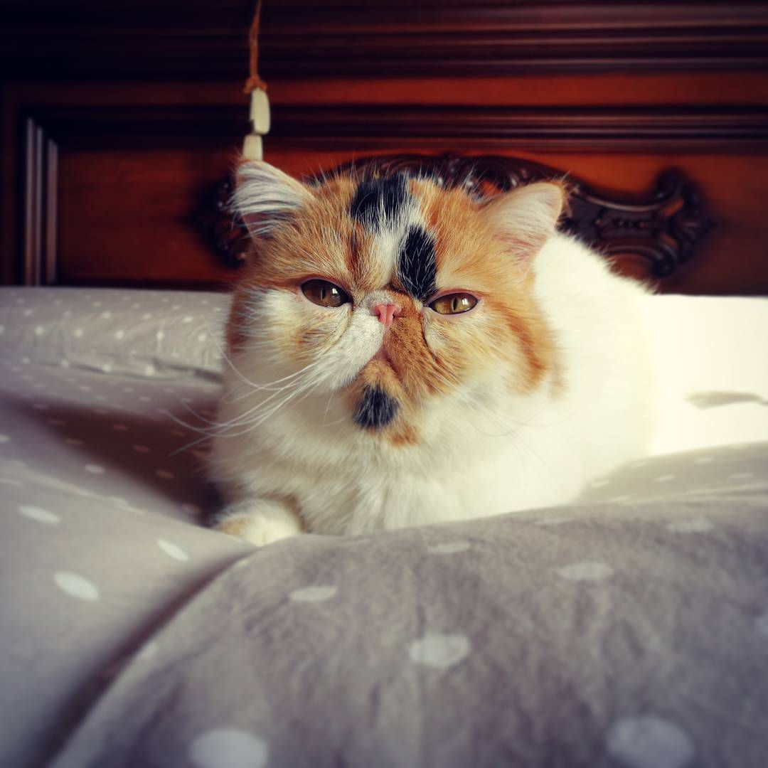 Cute Pictures And Facts About Calico Cats And Kittens