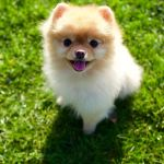 Teacup Dogs For Tiny Canine Lovers