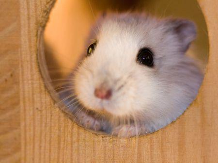 Dwarf Hamster Taking A Peek