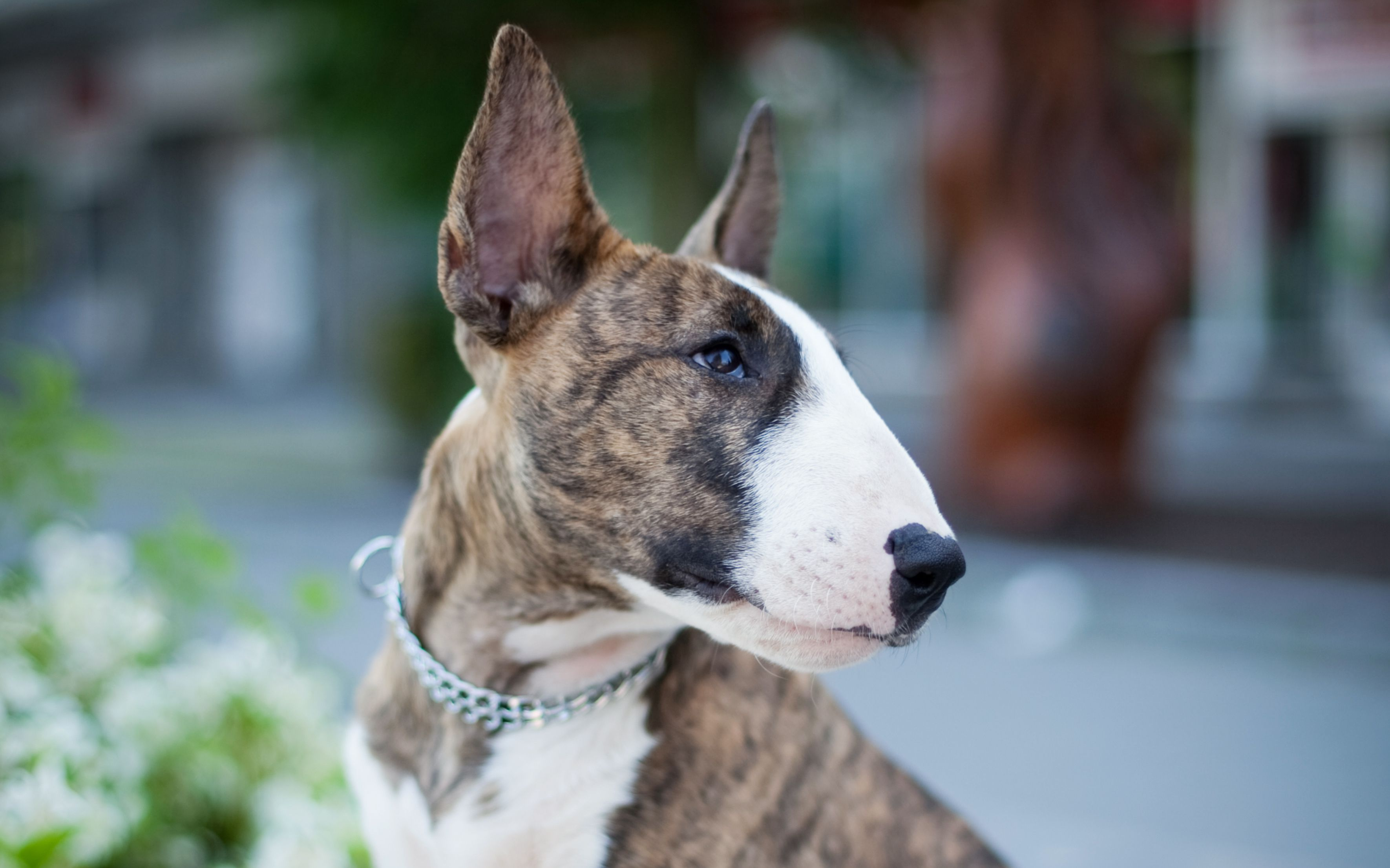 Bull Terrier Full Profile History And Care