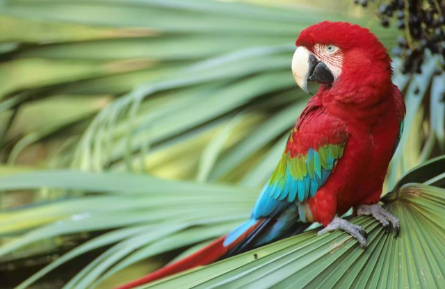 A close-up of Green-winged Macaw perched on a palm frond.