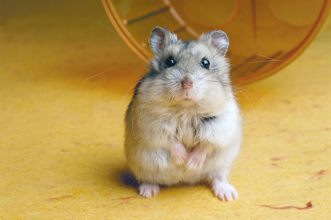 Reasons Why Hamsters Bite And How To Stop It