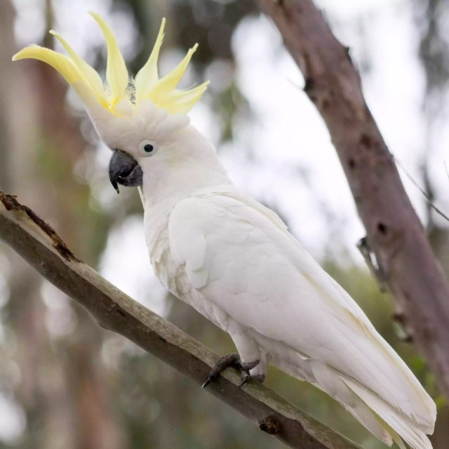Close-Up Of Sulphur Crested Cockatoo Perching On Branch