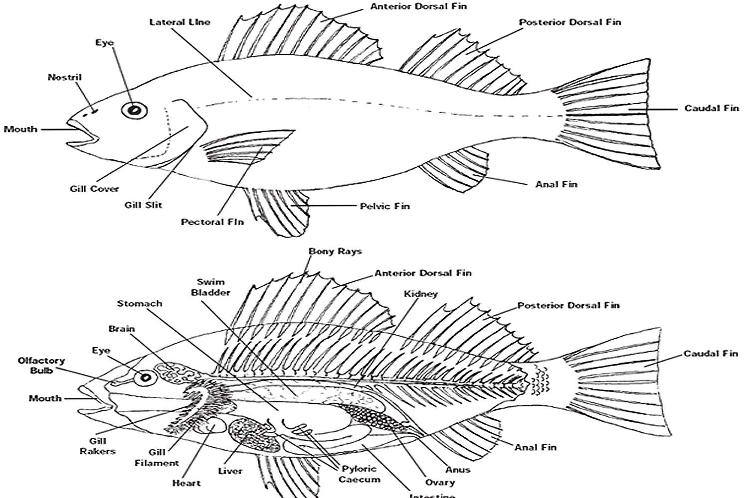 The Anatomy Of Fish