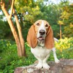 Basset Hound Full Profile History And Care