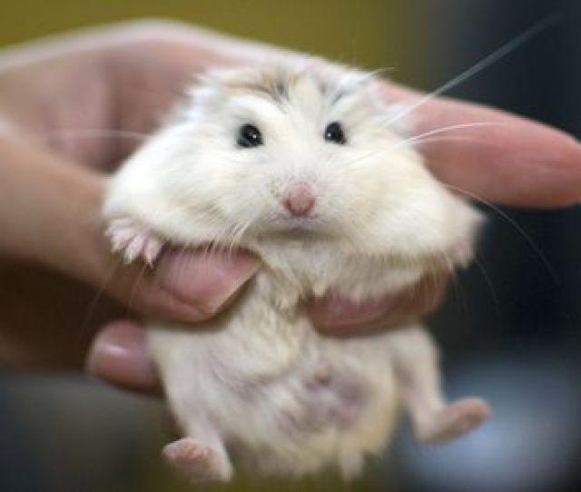 A White Face Roborovski Dwarf Hamster Pet Held