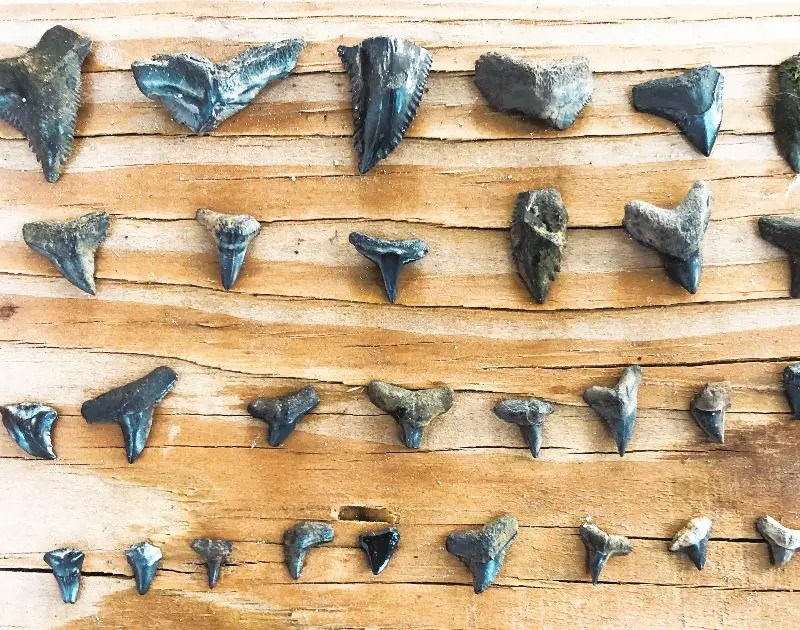 How to Find Shark Teeth