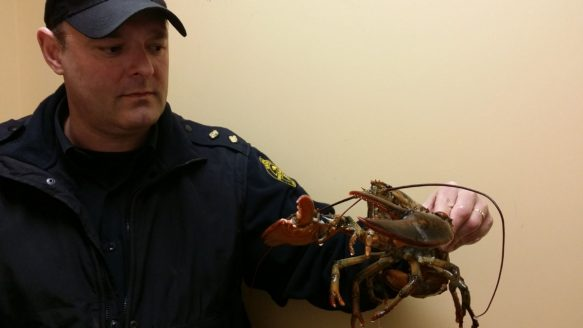 Inspector Todd Menard of the Lincoln County Humane Society holds Mickey, the abandoned lobster.