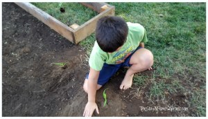 planting corn 2015