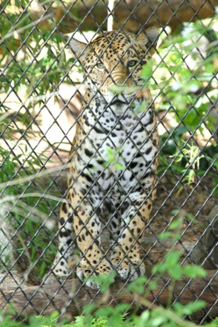 jaquar san antonio zoo