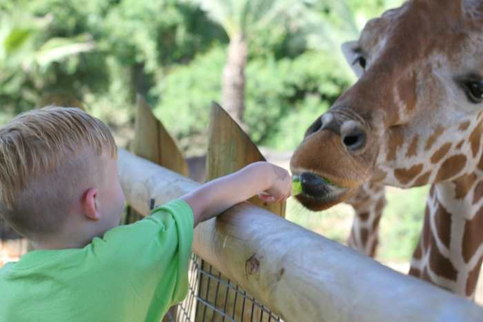 feeding giraffes zoo