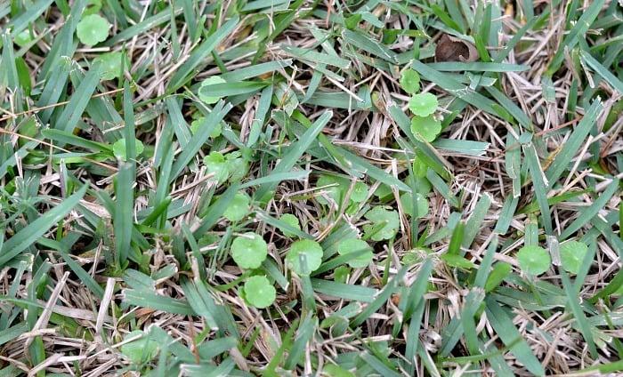 Dollarweed Florida Grass
