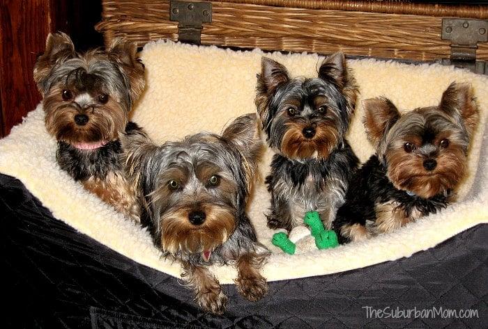 Four Yorkies