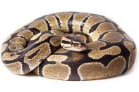 Image result for python snake