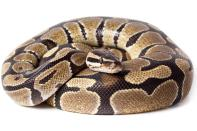 Image result for python snake