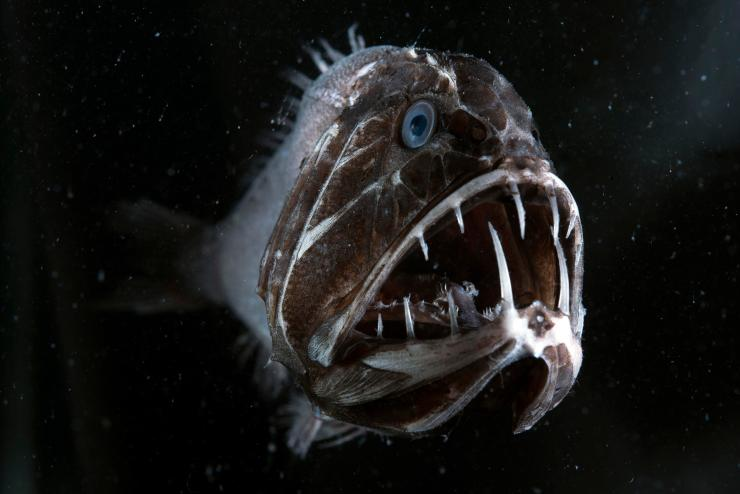 The fangtooth's gigantic teeth are actually the longest of any fish in the ocean, in relation to its body size