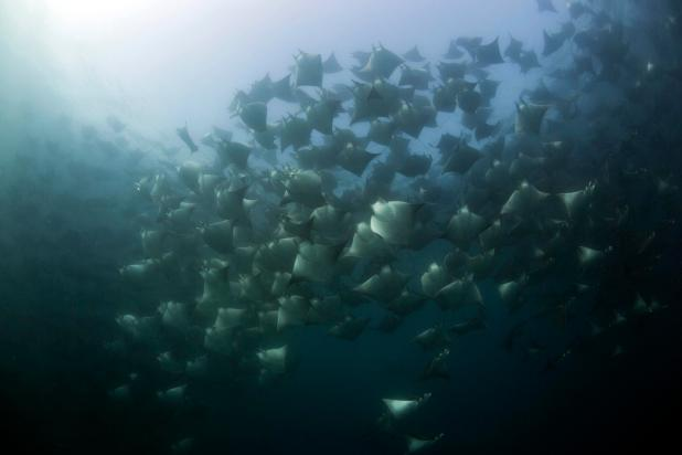 Sir David says: 'The feasting rays swim through the plankton creating an extraordinary ballet of life and death'