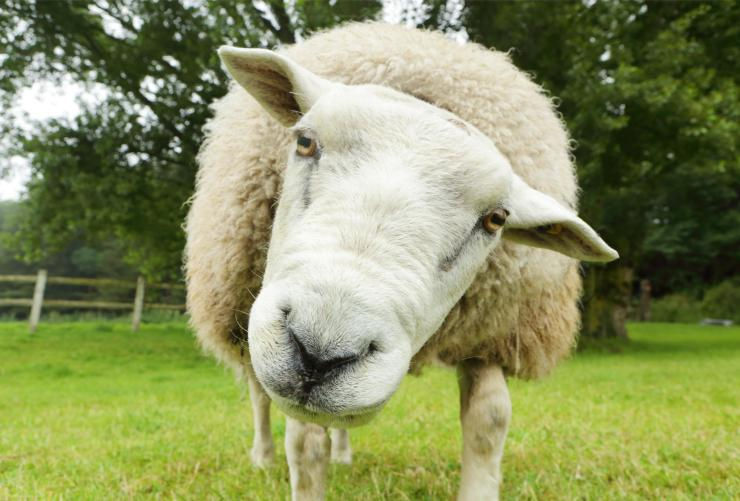 Apparently sheep are cleverer than we give them credit for - seemingly able to distinguish between Fiona Bruce and Emma Watson