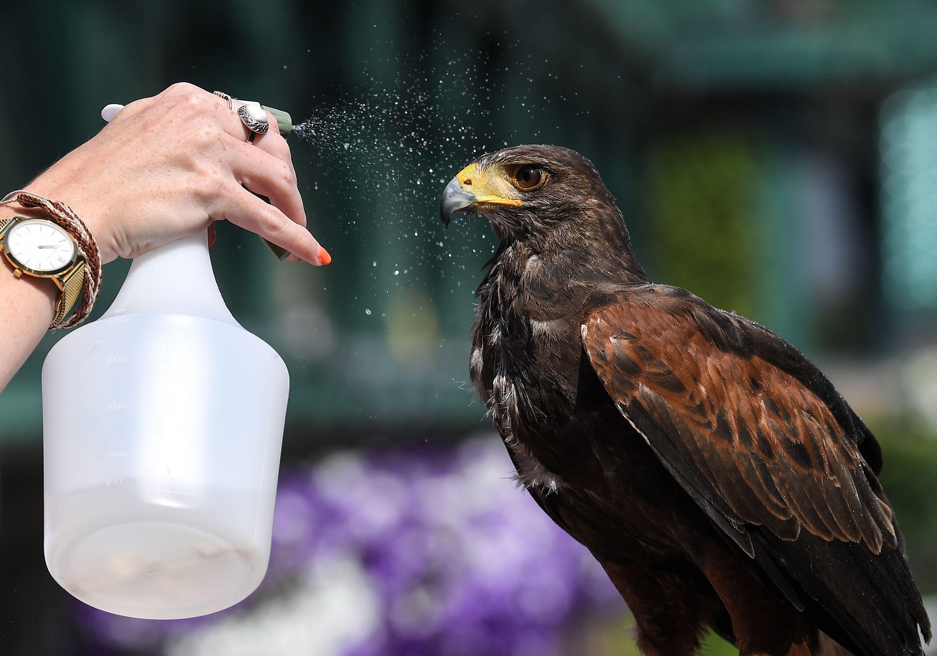 Even Rufus the hawk needs a cool down after boiling hot work catching pigeons in SW19