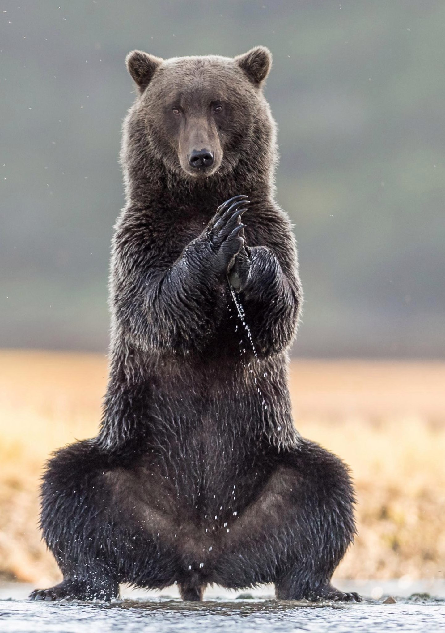 Giant Grizzly Bear Stands Out As It Practises Some Yoga Positions In Alaska