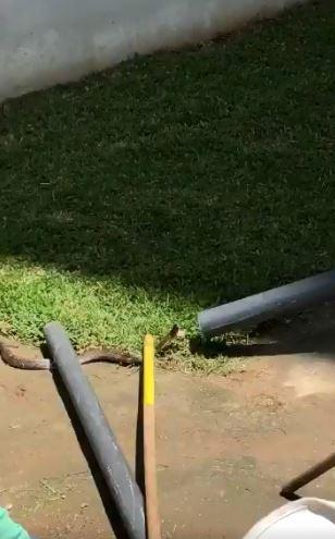 Staff used pipes and sticks in a bid to trap the deadly snake