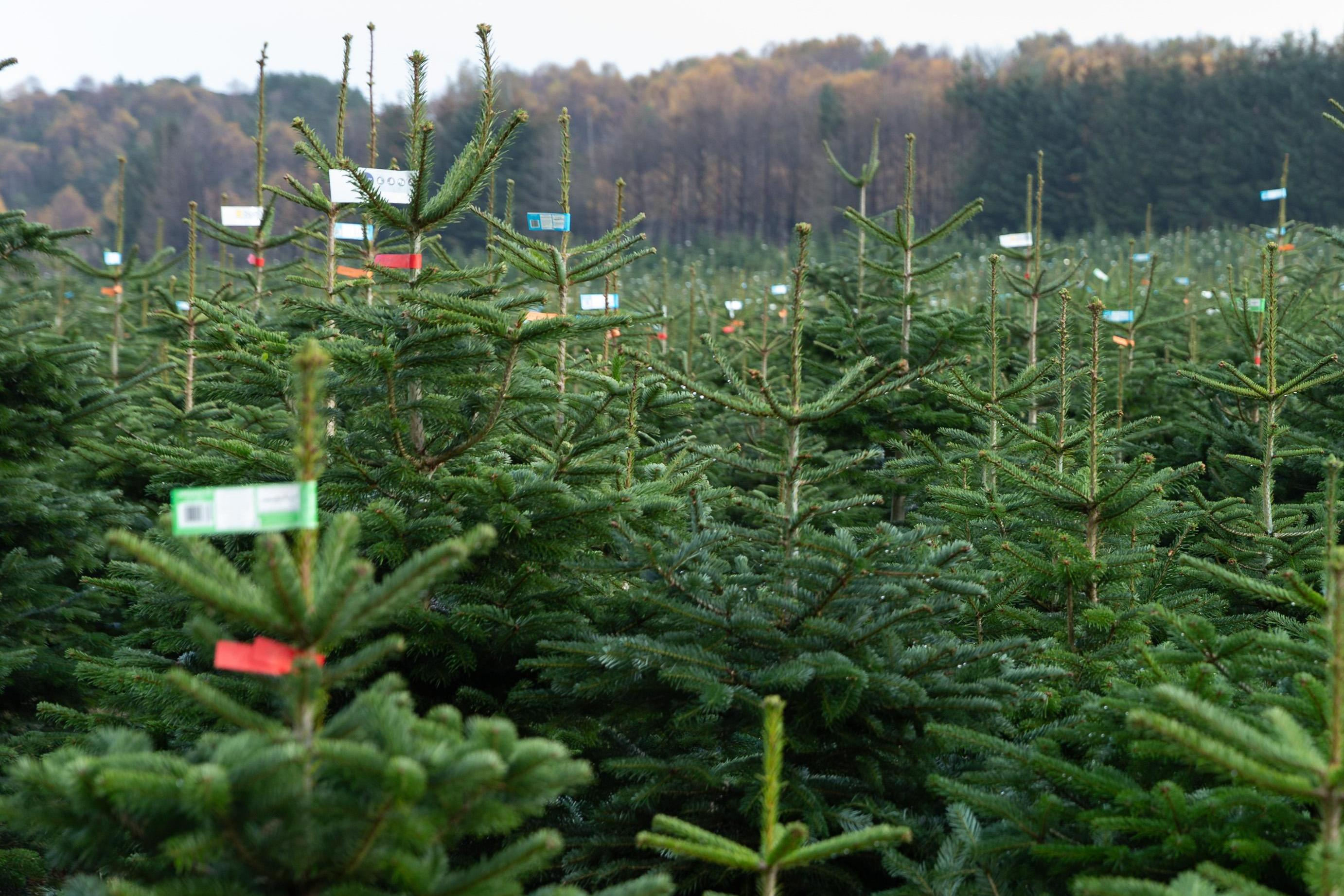 Lidl Is Selling 6ft Real Trees For 17 Later This Week