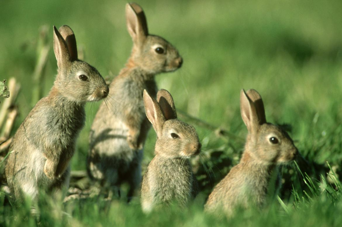 Groups of rabbits like this could become rare as the RVHD2 disease spreads