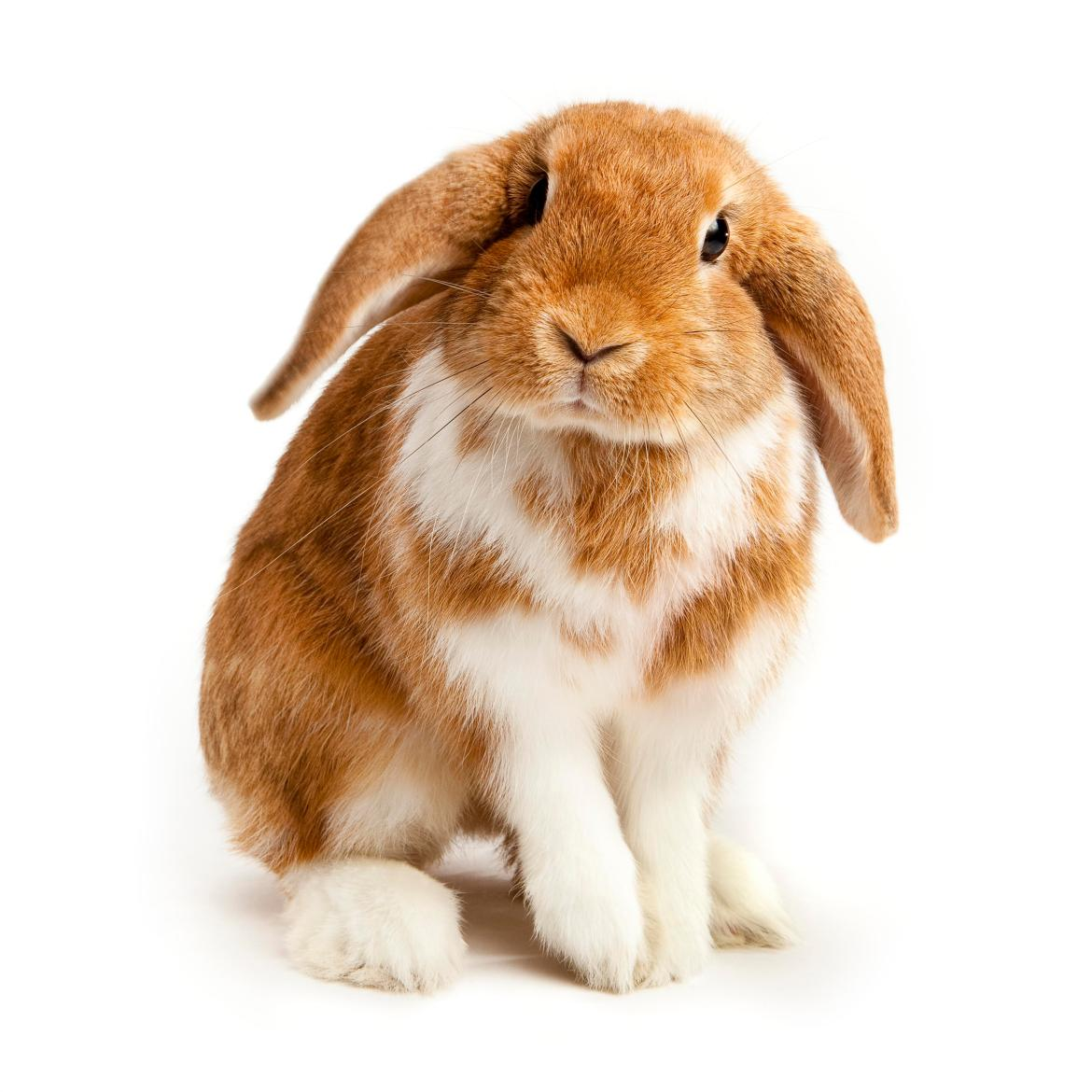 Rabbit owners are advised to have their pets vaccinated as soon as possible