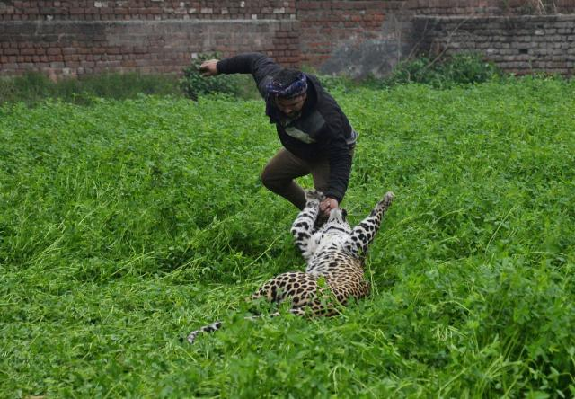 The leopard attacks a terrified man in the Indian village
