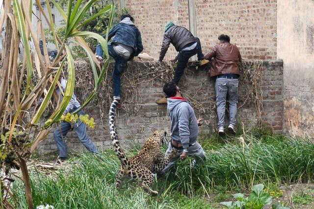 The leopard claws and bites a man's backside as others scramble over a wall to escape