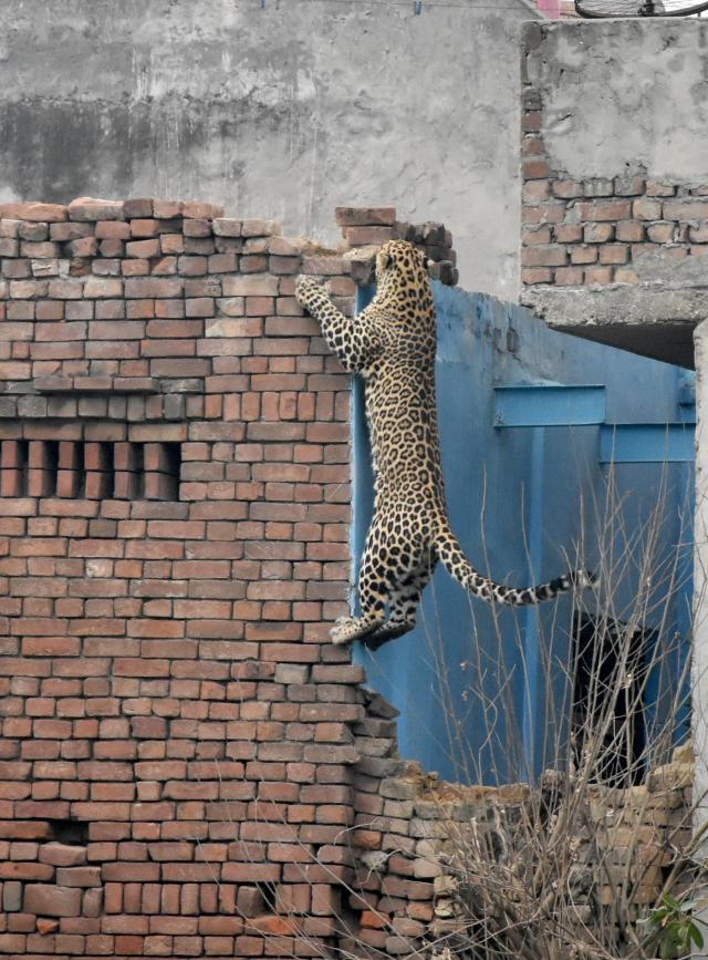 The leopard shows it's incredible climbing ability as it escapes time and time again from the rangers' efforts